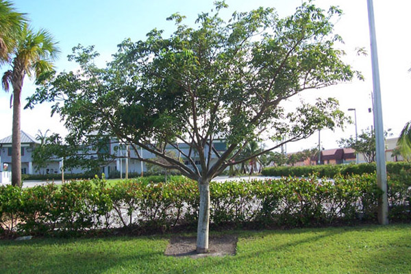 Gumbo Limbo - Trees | ALD Architectural Land Design Incorporated - Naples, Florida