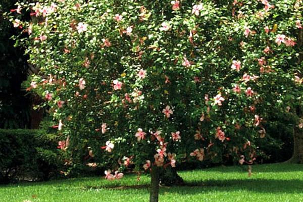 Hibiscus - Trees | ALD Architectural Land Design Incorporated - Naples, Florida