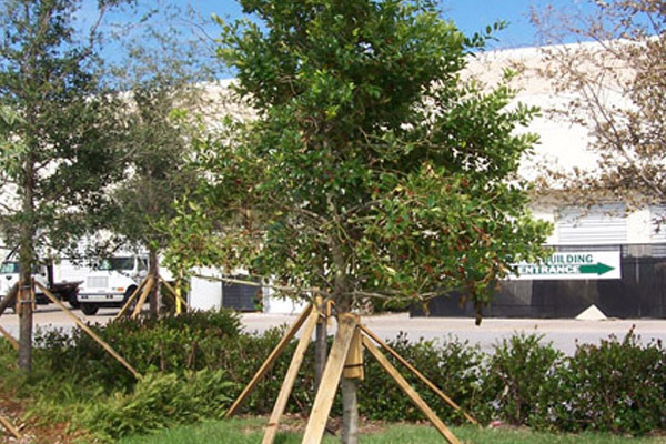 Holly Dahoon - Trees | ALD Architectural Land Design Incorporated - Naples, Florida