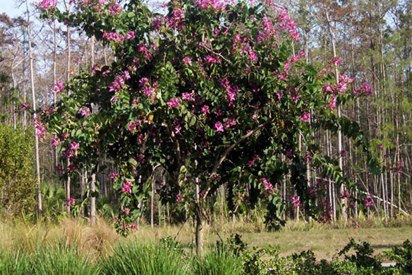 Hong Kong Orchid - Trees | ALD Architectural Land Design Incorporated - Naples, Florida