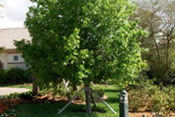Laurel Oak - Trees | ALD Architectural Land Design Incorporated - Naples, Florida