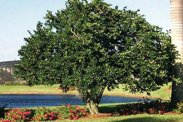 Ligustrum - Trees | ALD Architectural Land Design Incorporated - Naples, Florida