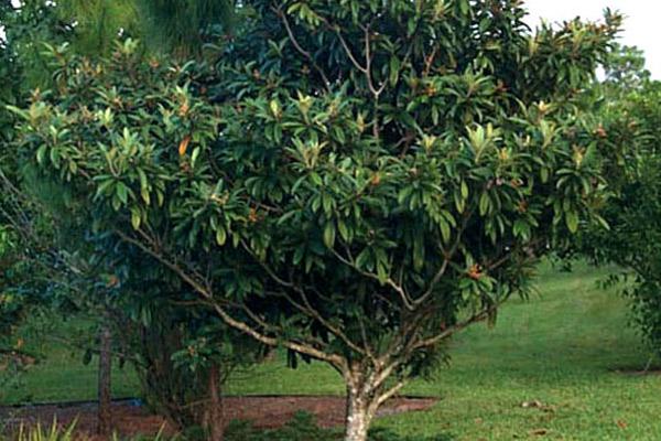 Loquat - Trees | ALD Architectural Land Design Incorporated - Naples, Florida