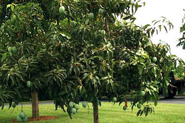 Mango - Trees | ALD Architectural Land Design Incorporated - Naples, Florida
