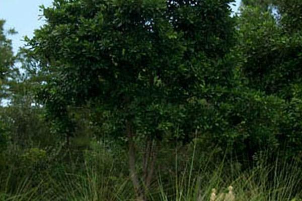 Pigeon Plum - Trees | ALD Architectural Land Design Incorporated - Naples, Florida