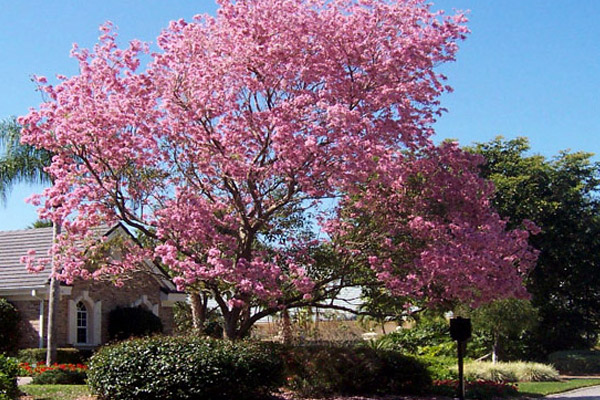 Pink Tabebuia - Trees | ALD Architectural Land Design Incorporated - Naples, Florida