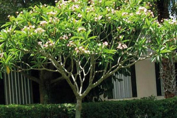 Plumeria - Trees | ALD Architectural Land Design Incorporated - Naples, Florida