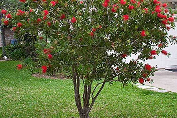 Red Bottlebrush Red Cluster - Trees | ALD Architectural Land Design Incorporated - Naples, Florida