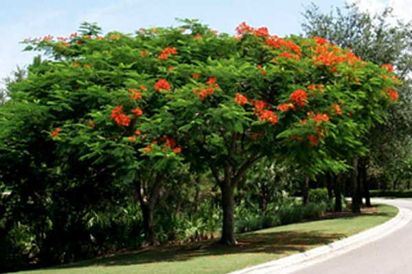 Royal Poinciana - Trees | ALD Architectural Land Design Incorporated - Naples, Florida