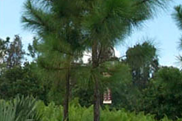 Slash Pine - Trees | ALD Architectural Land Design Incorporated - Naples, Florida