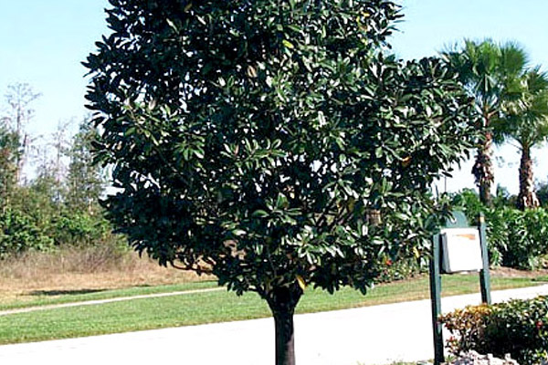 Southern Magnolia - Trees | ALD Architectural Land Design Incorporated - Naples, Florida