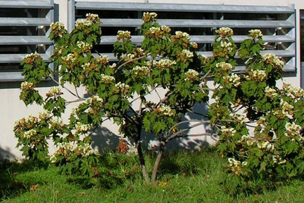 Tropical Hydrangea - Trees | ALD Architectural Land Design Incorporated - Naples, Florida