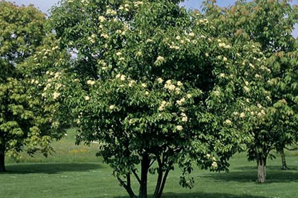 Viburnum - Trees | ALD Architectural Land Design Incorporated - Naples, Florida