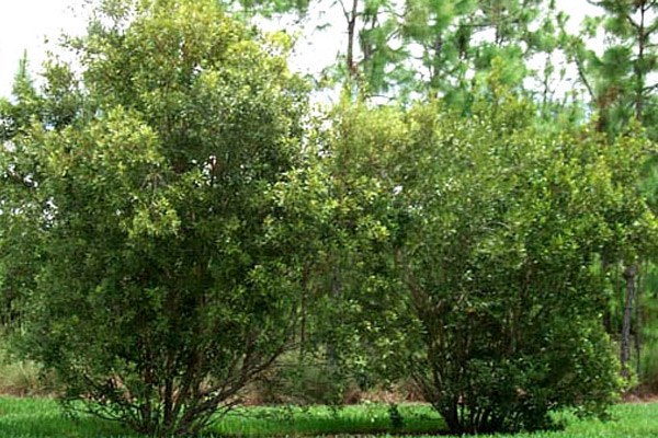 Wax Myrtle - Trees | ALD Architectural Land Design Incorporated - Naples, Florida