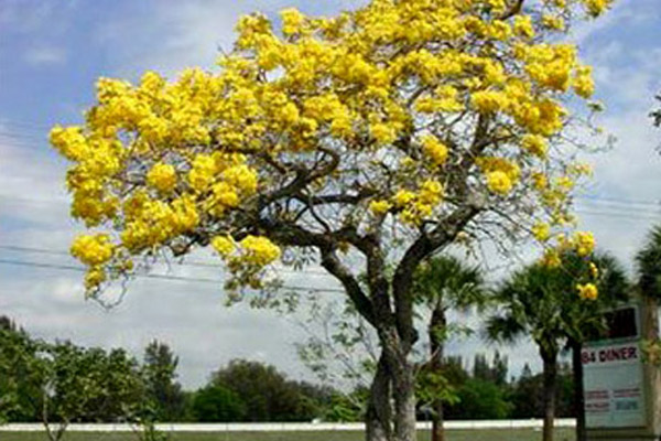 Yellow Tabebuia - Trees | ALD Architectural Land Design Incorporated - Naples, Florida